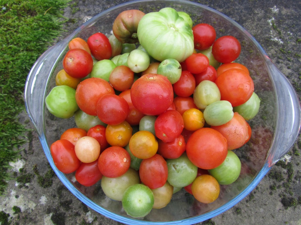 Last of the season's tomatoes